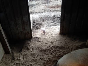 That piglet is maybe 3 hours old. They're adventurous little buggers.