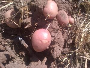 New Potatoes!