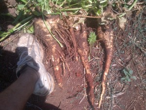 Last of the parsnip. My foot is there for scale. These last ones were huge!