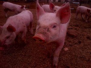 Piglet close-up.