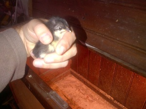 Our new chick.  The only survivor. :(
