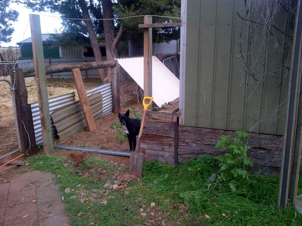 Taking down some fence to give us easy access to the new cow shed.