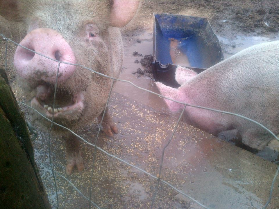 ... and two giant pigs who were fairly happy with themselves.