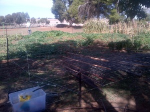 We used a temporary electric fence to save my carrots.