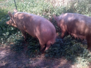 Boris and Honey in The Patch. They love spending time doing our cleaning up.