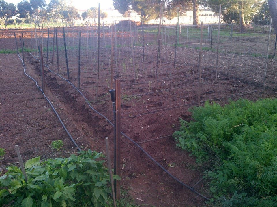 Pea frames in and peas planted out.