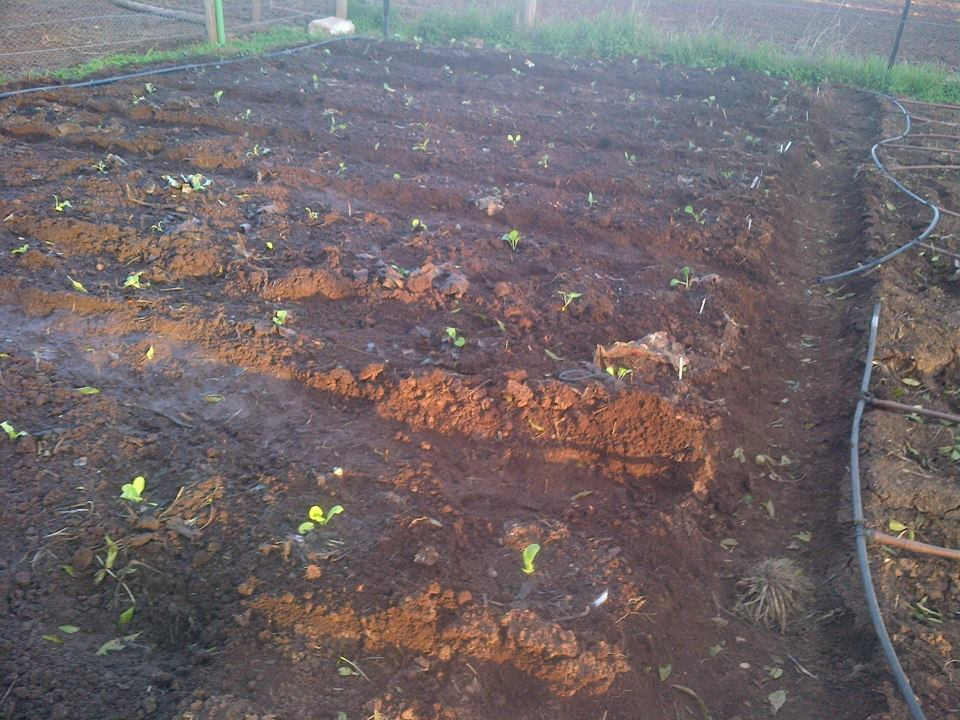 Brassicas planted out.