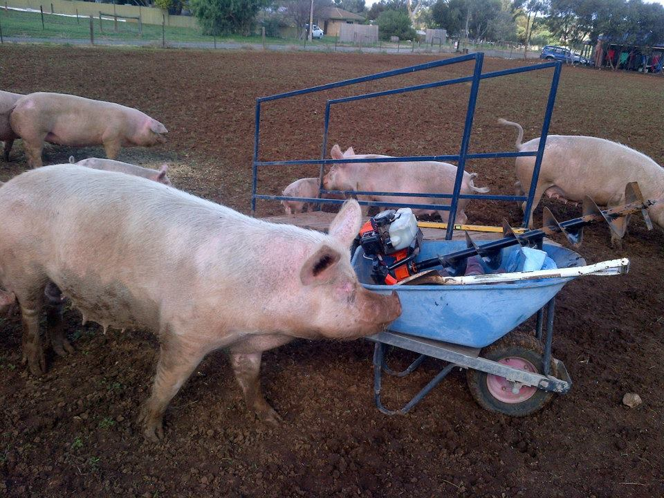 This is what it's like working around free-ranged pigs. They never leave you alone. Not ever.