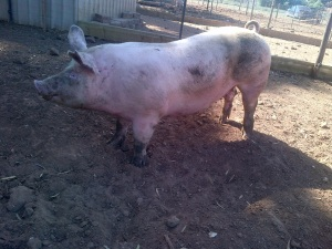 One of our new girls from the intensive farm down the road.  I think this is Ziggy.  She was the super fat one.
