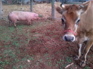Clarisse was not at all impressed that we made her live with even more pigs.