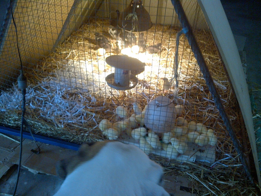 Awesome new brooder in action.