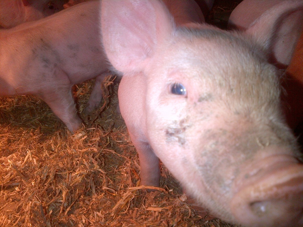 Extreme piglet close up!