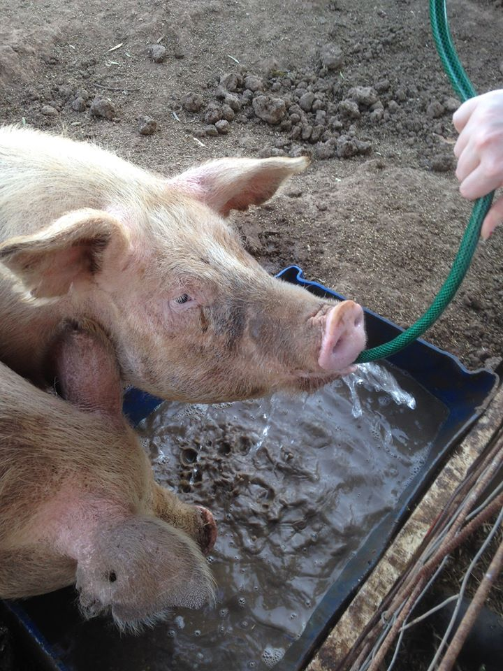 Ziggy Pig LOVES to drink from the hose.