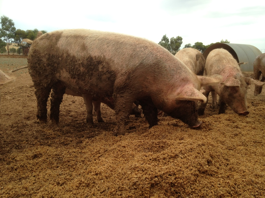 The pigs LOVE the brewer's grain.