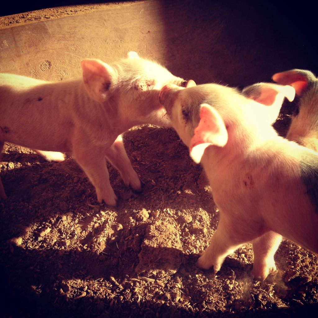 This might look like cute piglets kissing but it's actually cute piglets beating the hell out of each other.