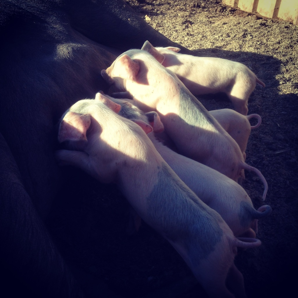 Piglet breakfast alfresco.