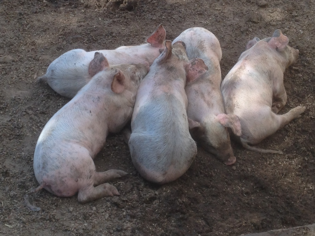 This is at just shy of 4 weeks. There's no real frame of reference, but they're the largest piglets we've ever had.