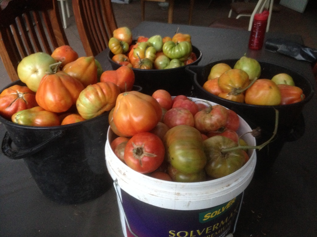 About 40kg of tomatoes and that's just one weekend. It was around 30kg the weekend before.