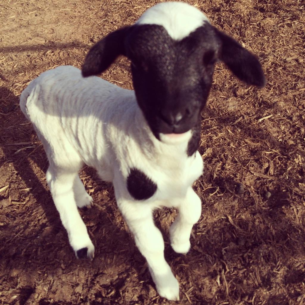 Rosie Lamb!