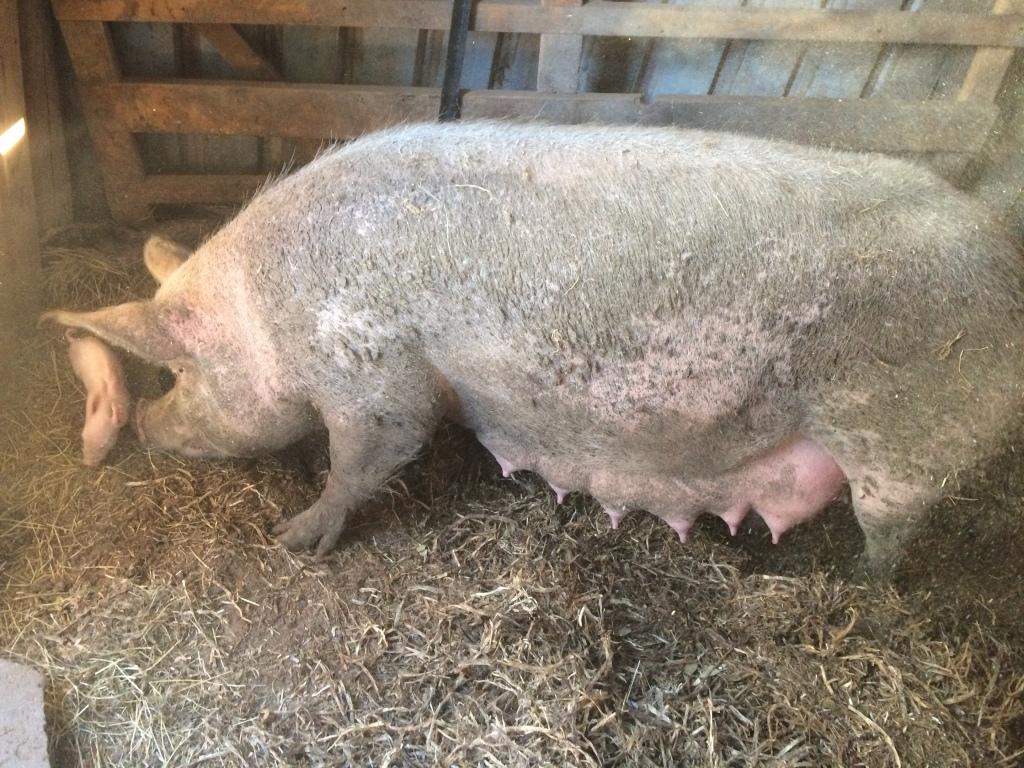My Honey Pig being a great mum.