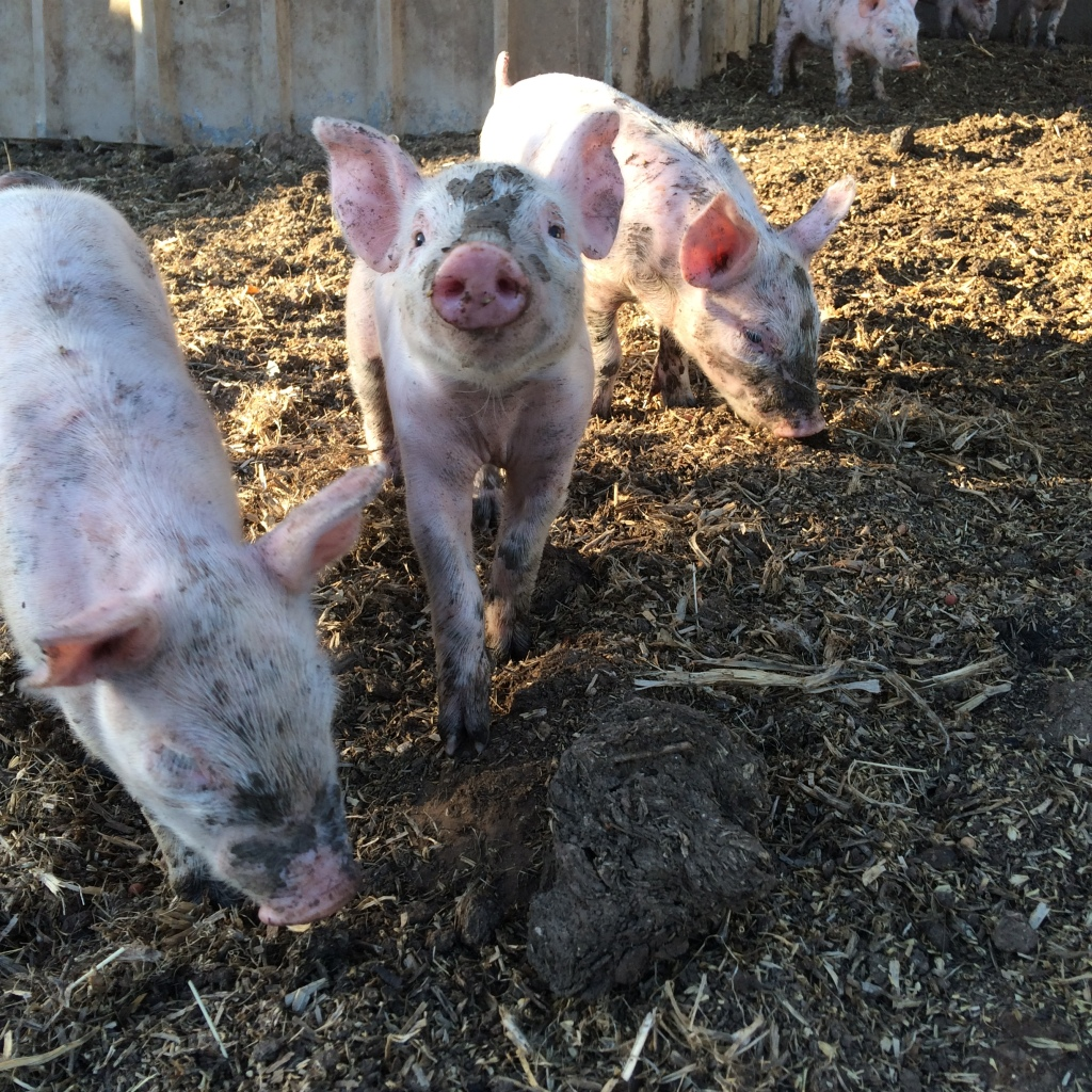 There's always one piglet that looks like Babe.