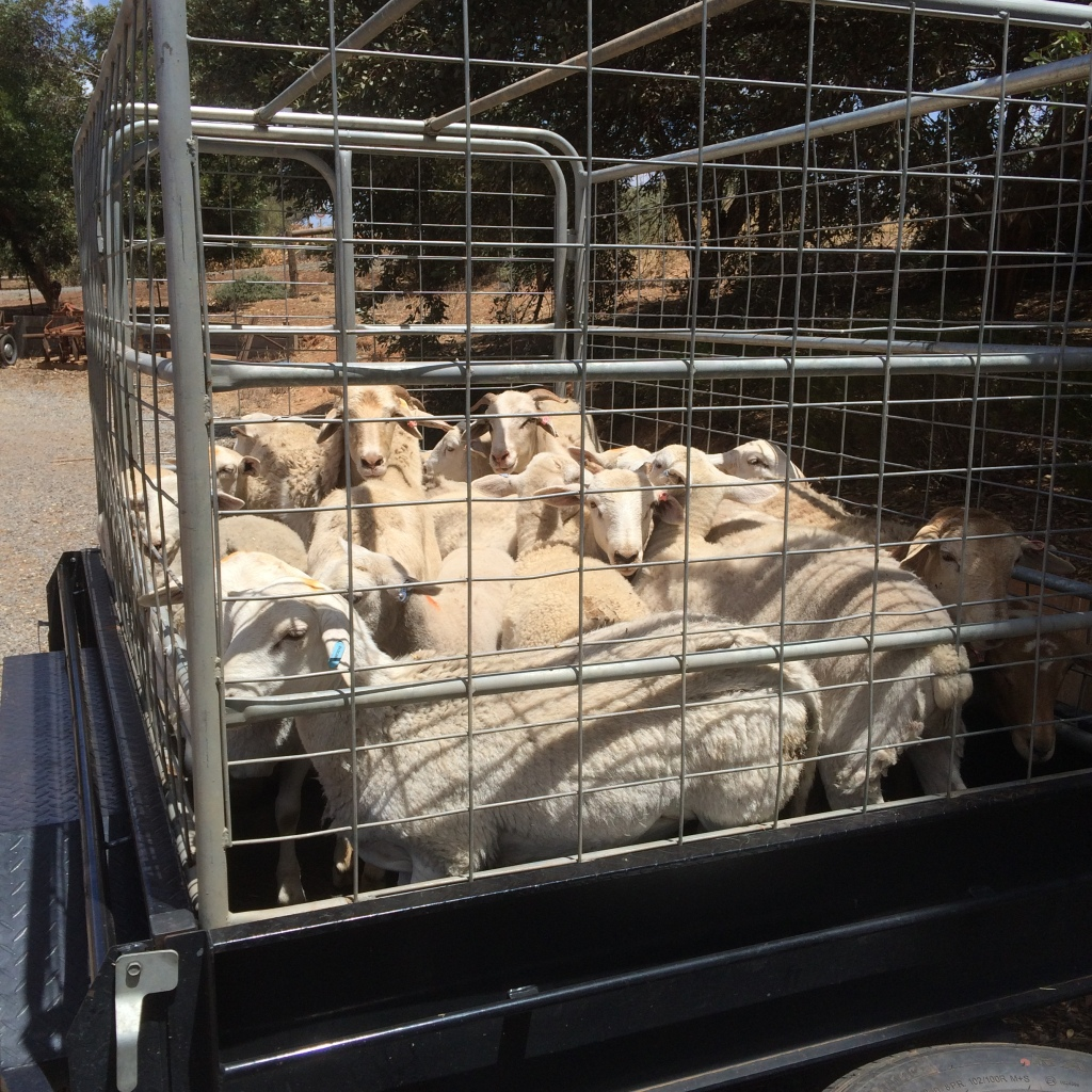 The first animals we took up. We spent a good few weeks getting fences in before getting the pigs up there.  The sheep were pretty easy though - fire and forget in the back paddock.