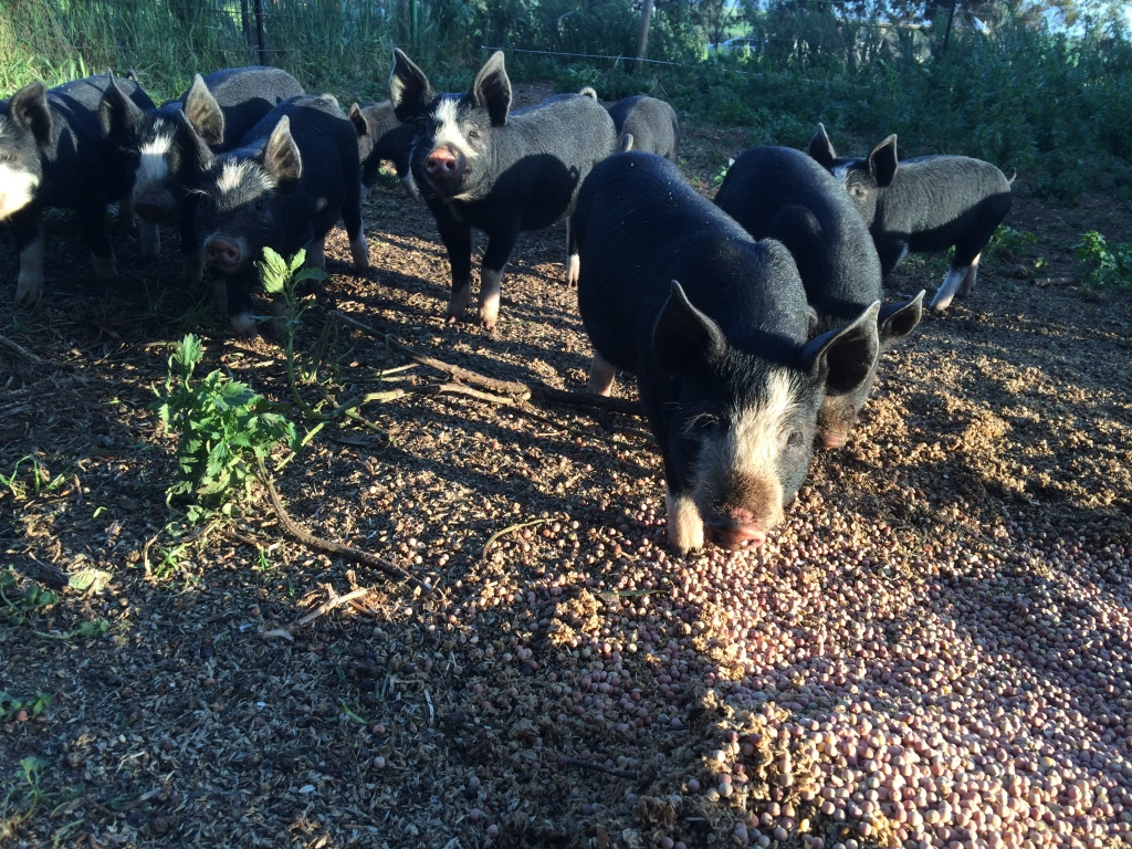 Piglets LOVE their peas!