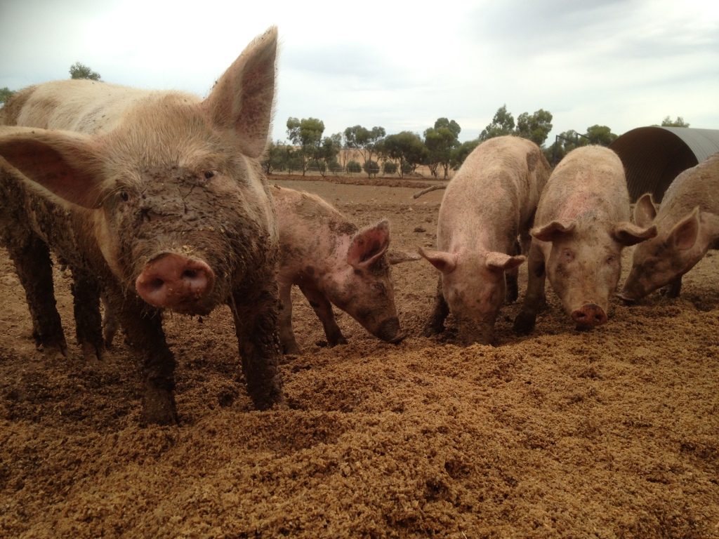 Pigs love the mash, especially when they've been introduced to it at a young age.