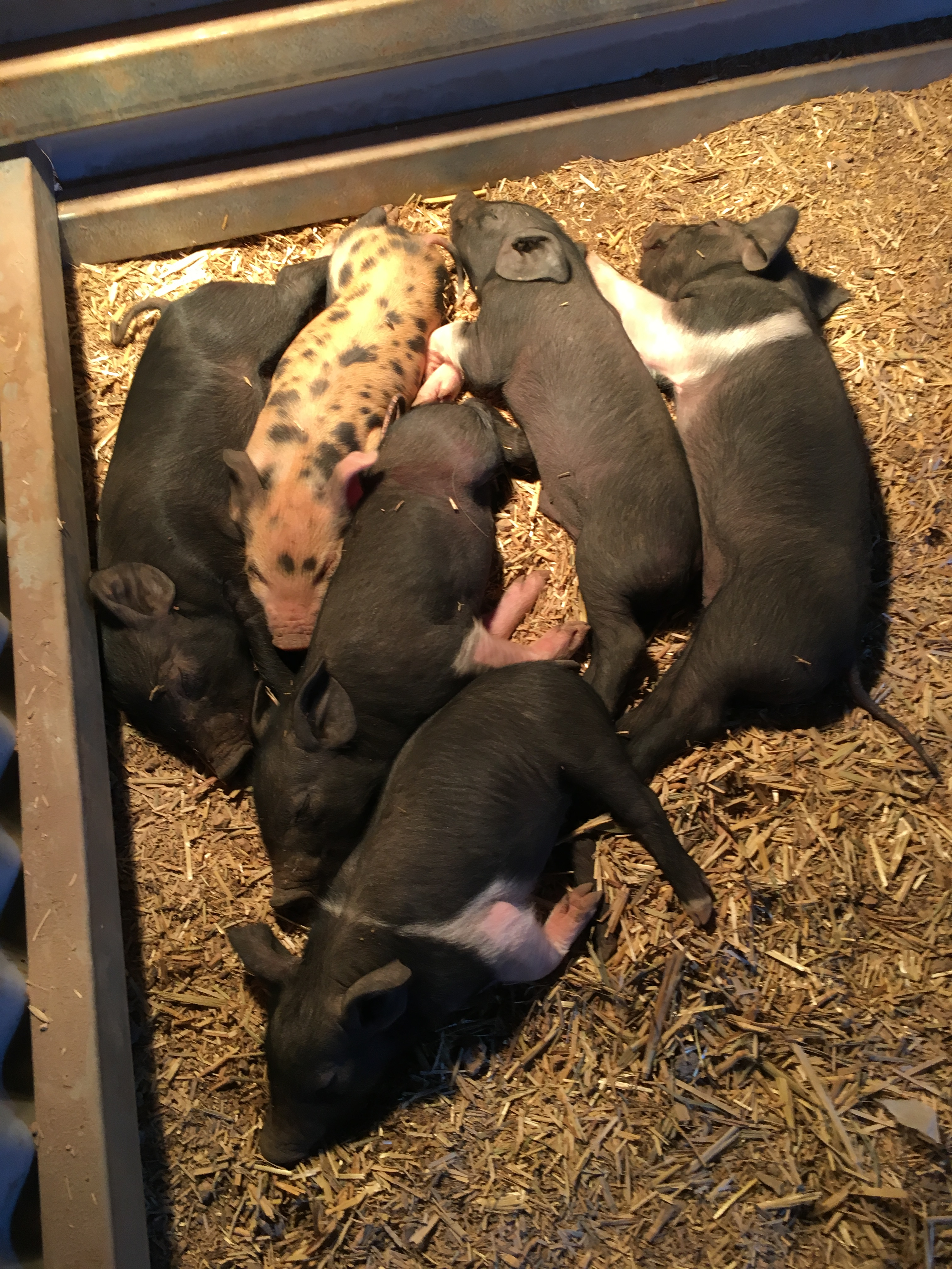 Castration | The Atherton Farm Blog