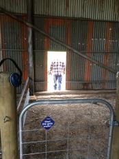 Each farrowing yard exits into a free-range paddock, as demonstrated here by dad.