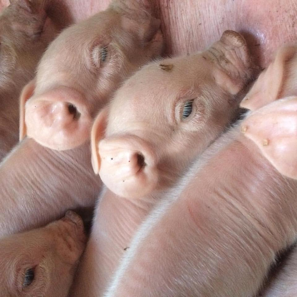 Piglets 6