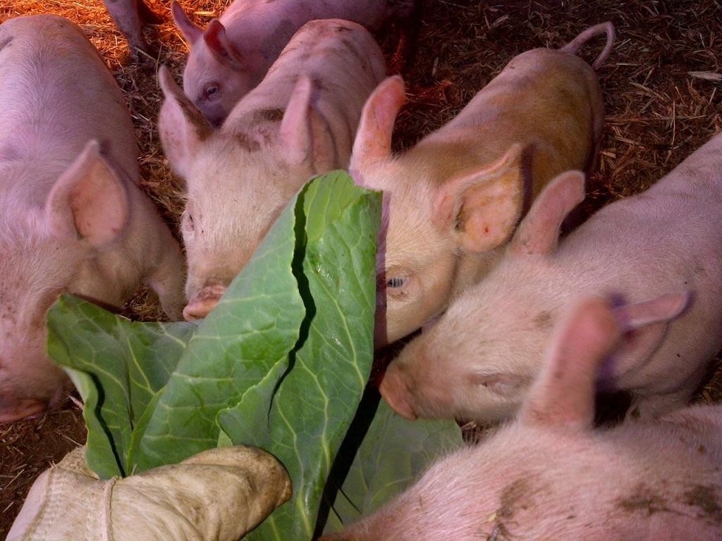 Piglets 7