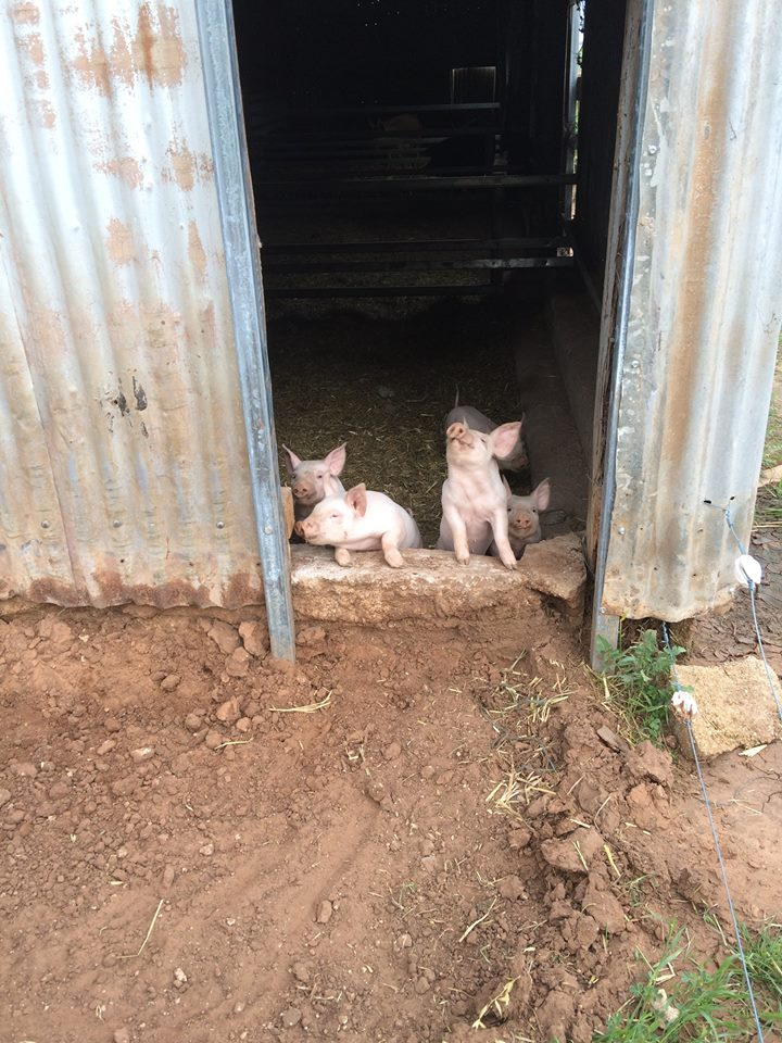 Piglets - farrowing yard 1