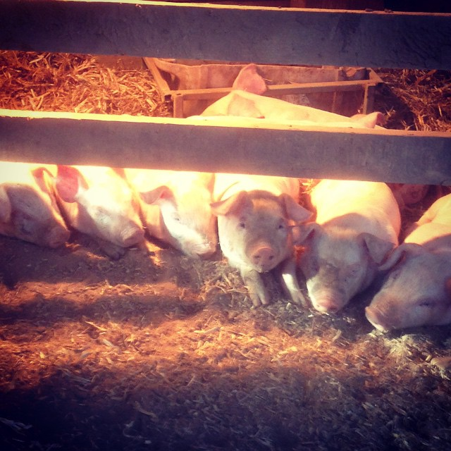 Piglets - Supplementary Heat 2